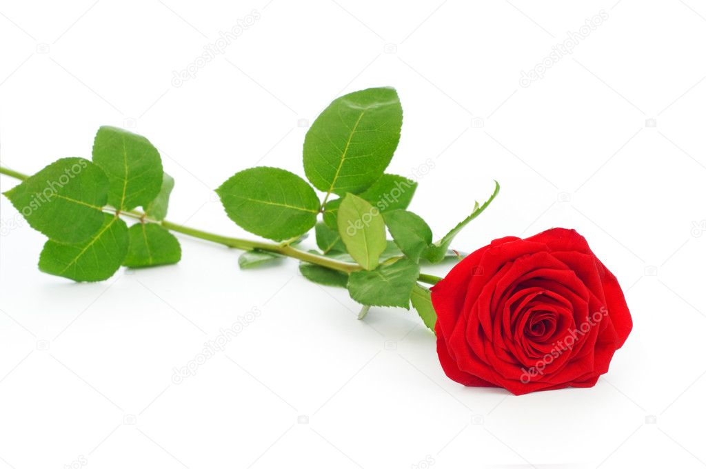 Close up shot of scarlet rose on white background — Stock Photo #7065840