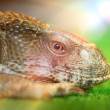 Head of lizard — Stock Photo