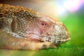 Head of lizard — Stock Photo