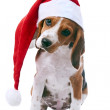 Beagle puppy in santa red hat - Stock Photo