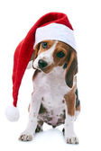 Beagle puppy in santa red hat — Stok fotoğraf