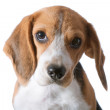 Beagle puppy — Stockfoto