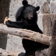 Ussuri black bear — Stockfoto