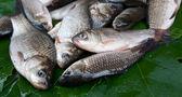 Fish crucians — Stock Photo