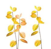 Autumn branches on white — Stock Photo