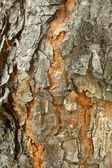 Texturou kůry borovice — Stock fotografie