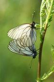A mating pair of black-veined white butterflies (Aporia crataegi — Foto de Stock