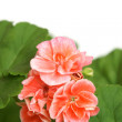 Blossoming salmon geranium — Stock Photo #6923580