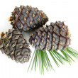 Foto Stock: Siberian pine branch with cones