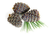 Siberian pine branch with cones — Stock Photo