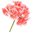 Blossoming salmon geranium — Stock Photo