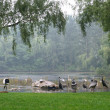 White storks and gray cranes on the shore of lake — Stock Photo