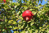 Pomegranate on the tree in the garden — Stock Photo