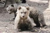 Kleine beer — Stockfoto