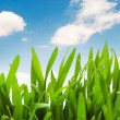 Green grass against blue sky -  