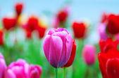 Tulip flowers in nature concept — Stock Photo