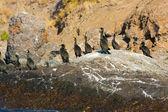 Colony crested cormorants on stones. — Stock Photo