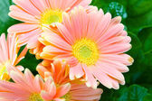 Beautiful decorative room flowers-chrysanthemums — Stock Photo