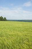 绿色的黑麦的耳朵 — 图库照片