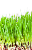Sprouts of a young green grass — Stock Photo