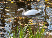 Swan in the automn pond — Stock Photo