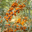 Stock Photo: Sea-buckthorn