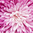 Chrysanthemum — Stock Photo #6826642