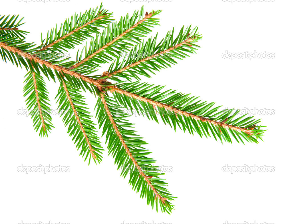 Green banch of fir isolated on white  Stock Photo #6825490