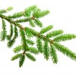Green fir — Foto de Stock