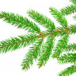 Green fir - Stock Photo