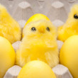 Stock Photo: Yellow chickens