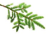 绿色冷杉 — 图库照片