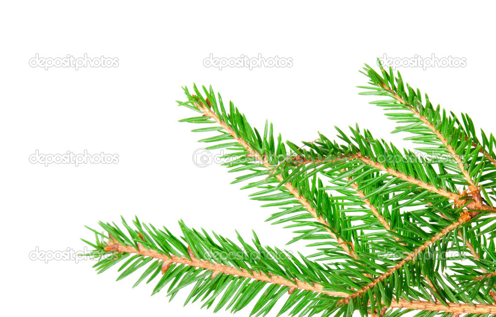 Green banch of fir isolated on white — Photo #7492127