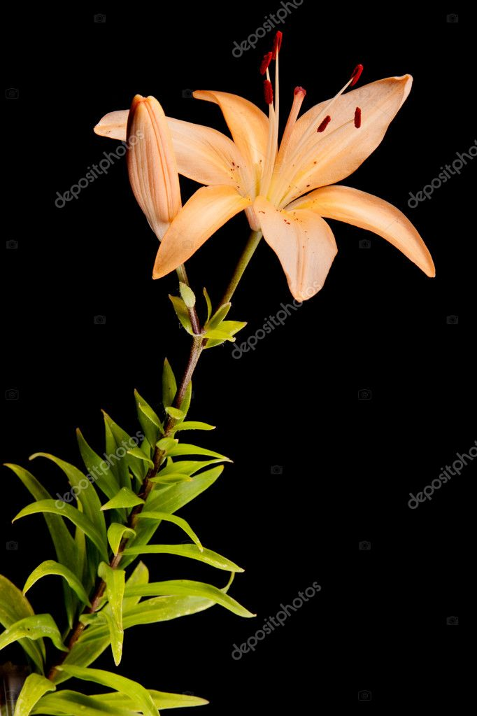 Lily isolated on black — Stock Photo #7492370