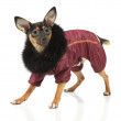 Постер, плакат: Toy terrier dog looking up
