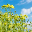 Flower field ,blue sky — Stock Photo