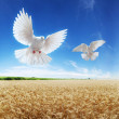 Ears of wheat under sky, dove — Stock Photo