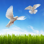White dove, grass and sky — Stock Photo
