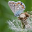 Butterfly closeup on a white fluffy dandelion — Stock Photo