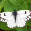 White butterfly closeup — Stock Photo
