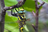 Large dragonfly closeup of yellow and black coloring — Stock Photo