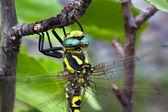 黄色和黑色着色的大型蜻蜓特写 — 图库照片