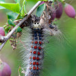 Gypsy Caterpillar close up with a mustache — Stock Photo