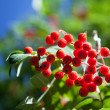 Foto Stock: Rowberries on green-blue background