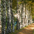 Avenue of birch trees in autumn colors — Stok Fotoğraf #7679623