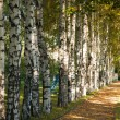 Avenue of birch trees in autumn colors — Foto Stock #7679623