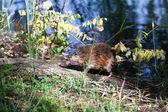 Wet on the log muskrat — Stock Photo