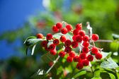 Rowan berries on a green-blue background — Stock Photo