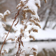 Dry snow-covered plant — 图库照片