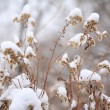 Dry snow-covered plants — Stock Photo